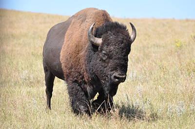 Photograph - Lone Bull Buffalo by Robert Habermehl