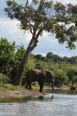 Lone Elephant Water Hole Art Print by Carol Wright