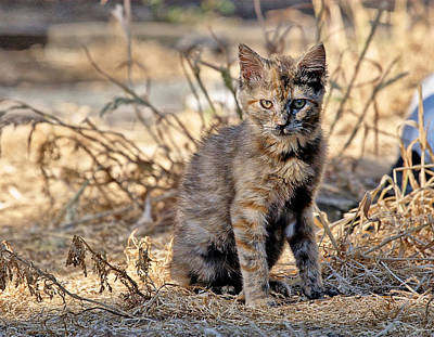 Photograph - Lone Feral Kitten by Chriss Pagani