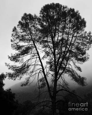 Photograph - Lone Pine In The Fog Photograph by Kristen Fox