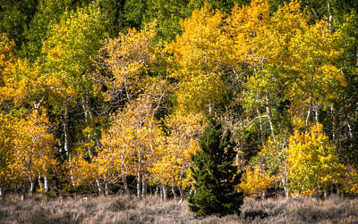 Photograph - Lone Pine Tree In Colorful Aspens by Connie Cooper-Edwards
