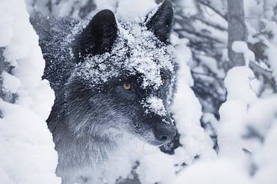 Lone Wolf In Snow Art Print by Don Hammond