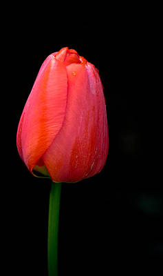 Photograph - Lonely Tulip by Jean Noren