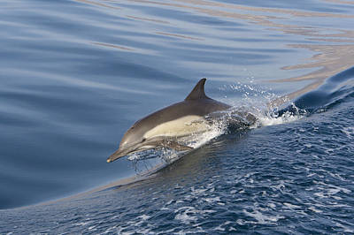 Photograph - Long-beaked Common Dolphin Delphinus by Suzi Eszterhas