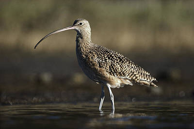 Long-billed Curlew Photograph - Long Billed Curlew Wading North America by Tim Fitzharris