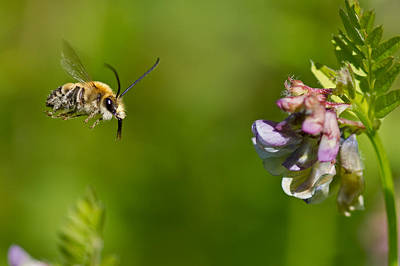 Apocrita Photograph - Long-horned Bee by Anne Sorbes