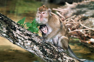 Long-tailed Macaque Mother And Baby Art Print by Georgette Douwma