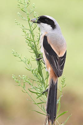 Y120907 Photograph - Long Tailed Shrike by Myron Tay
