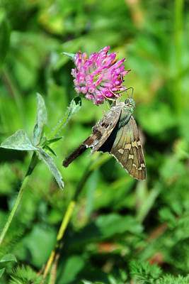 Photograph - Long-tailed Skipper by Alan Lenk
