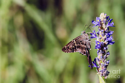 Long-tailed Skipper Butterfly Art Print by Cindy Bryant