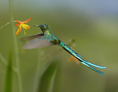Long-tailed Sylph Photograph - Long Tailed Sylph Feeding On Flower by Tim Fitzharris