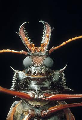 Photograph - Longhorn Beetle Macrodontia Cervicornis by Mark Moffett