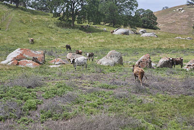 Photograph - Longhorn Cows by Gregory Scott