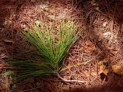 Longleaf Pine Needles Art Print by John Myers