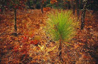 Lake Waccamaw Photograph - Longleaf Pine, Turkey Oaks And Ferns by Raymond Gehman