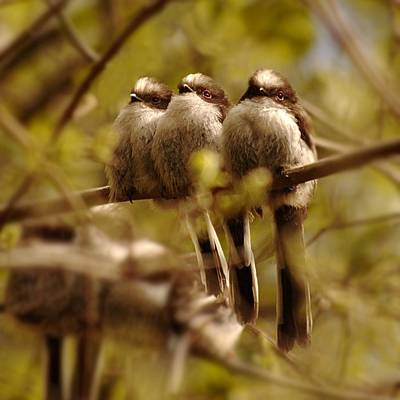Photograph - Longtailed Tit Fledglings by Gavin Macrae