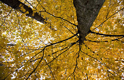 Look Up It Is Fall Art Print by John Crothers