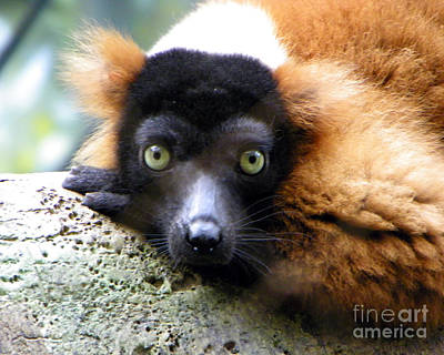 Red-ruffed Lemur Photograph - Looking At You Kid by Anne Ferguson