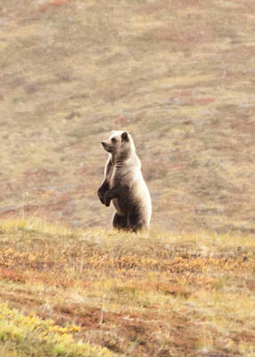 Grizzly Bear Photograph - Looking Beyond 2 by Dora Miller