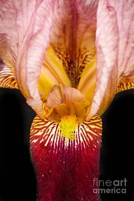 Red Gladiolus Photograph - Looking Inside by Robert Bales