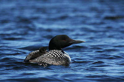 Photograph - Loon And New Born Chick by Benjamin Dahl