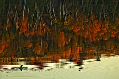 Loon In Opeongo Lake With Reflection Art Print by Robert Postma
