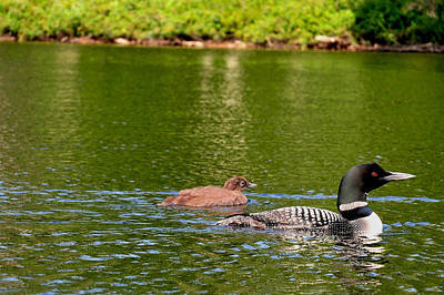 Photograph - Loon On Bog River by Peter DeFina