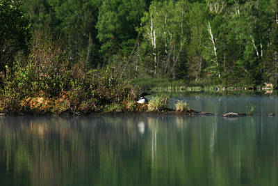 Photograph - Loon On Nest by Benjamin Dahl