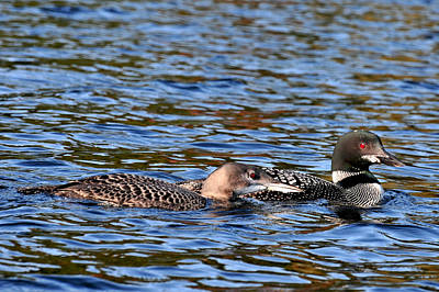Photograph - Loon Parent And Juvenile by Peter DeFina
