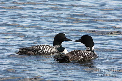 Loon Photograph - Loon Talk by Dave Knoll