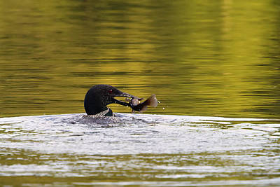 Loon With Fish Art Print