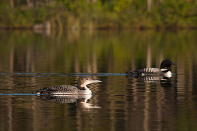 Photograph - Loons by Benjamin Dahl
