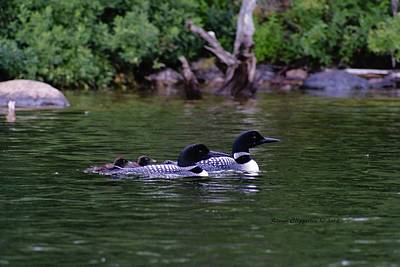 Art Print featuring the photograph Loons With Twins 2 by Steven Clipperton