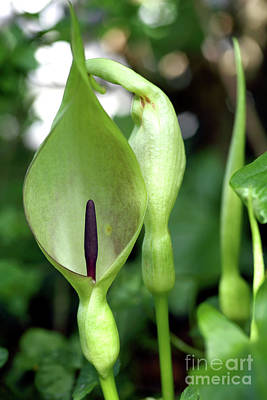 Flower Pint Photograph - Lords And Ladies (arum Maculatum) by Dr Keith Wheeler
