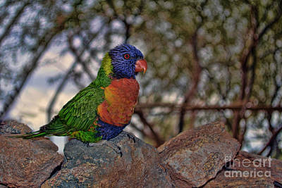Photograph - Lorikeet by Donna Greene