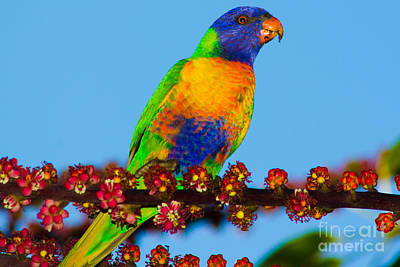 Lorikeet On Umbrella Tree Art Print