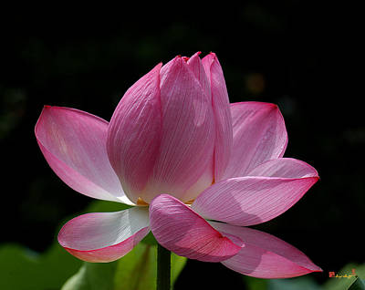 Photograph - Lotus Beauty--beauty In Disarray Dl027 by Gerry Gantt