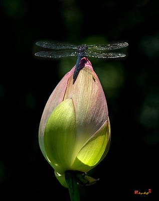 Photograph - Lotus Bud And Slatey Skimmer Dragonfly Dl076 by Gerry Gantt