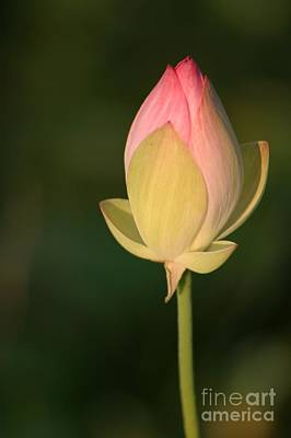 Photograph - Lotus Bud by Living Color Photography Lorraine Lynch