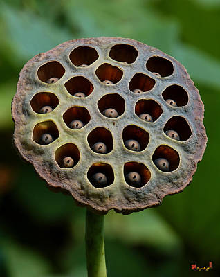 Photograph - Lotus Capsule-timid Fledglings Dl053 by Gerry Gantt