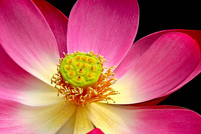 Photograph - Lotus Close Up by Jean Noren