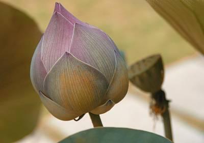 Digital Art - Lotus Dreaming 6 by Fran Woods