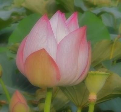 Lotus Flower Art Print by Chad and Stacey Hall