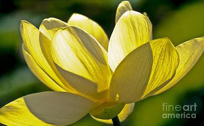 Nelumbo Nucifera Photograph - Lotus Flower by Heiko Koehrer-Wagner