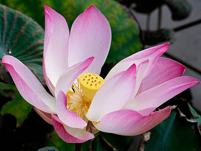 Photograph - Lotus In Full Bloom by Chua  ChinLeng
