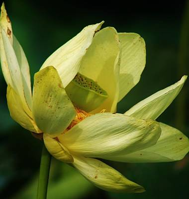 Photograph - Lotus In The Afternoon by Bruce Bley