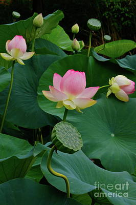 Photograph - Lotus Pond View A by Byron Varvarigos