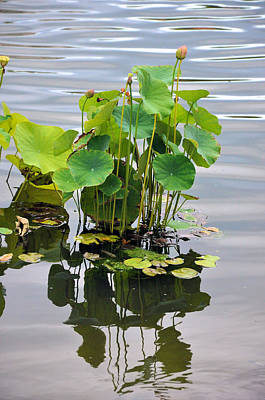 Photograph - Lotus Ripples by Jan Amiss Photography