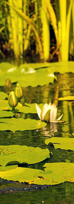 Photograph - Lotus by Shelley Bain