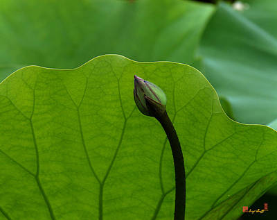 Photograph - Lotus-sheltering The Future Dl032 by Gerry Gantt